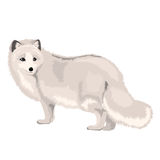 Vector Illustration Arctic Fox. Vector illustration of arctic fox isolated on a white background vector illustration