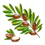 Vector illustration argan tree branch Stock Images