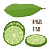 Vector illustration of Australian finger lime, tropical, exotic plant, spicy food. Cartoon flat style. Vector illustration of Australian finger lime, slices of Stock Images