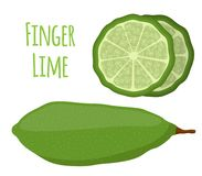 Vector illustration of Australian finger lime, tropical, exotic plant, spicy food. Cartoon flat style. Vector illustration of Australian finger lime, slices of Royalty Free Stock Image