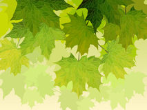 Crown of maple tree with green leaves. Stock Image