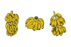 Vector Illustration of banana fruit sketch for design, website, background, banner. Travel and vacation ink element stock images