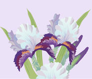 Bouquet of Irises Royalty Free Stock Photography