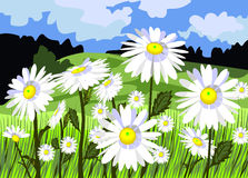 Beautiful meadow with daisies. Vector illustration - beautiful meadow with daisies Royalty Free Stock Photo