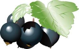 Vector illustration - black currant Stock Photo