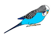 Vector illustration of blue budgie Stock Photo
