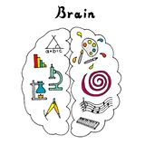 Vector illustration of the brain. Left and right hemispheres. royalty free illustration