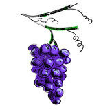 Vector illustration of a branch of grapes Stock Photo