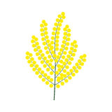 Vector illustration branch of yellow mimosa flower. Isolated on white Stock Image