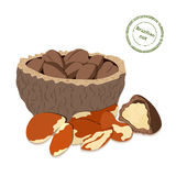 Vector illustration Brazil nut. A handful of shelled  nuts in shell and .  Stock Photos