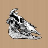 Illustration of bull skull Royalty Free Stock Image