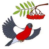 Vector illustration bullfinch and mountain ash Royalty Free Stock Photo