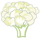 Cauliflower decorative drawing on white background is insulated. Vector illustration of the bunch cauliflower on white background royalty free illustration