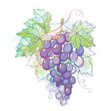 Vector illustration with bunch of grape and grape leaves in pastel Stock Photo