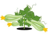 Vector illustration of the bush of the vegetable marrow in garden. Vegetable marrow in garden on white background is insulated vector illustration