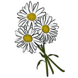 Vector illustration of camomile flower. Hand drawn illustration of a cartoon flowers Stock Photos