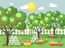 Vector illustration cartoon harvesting ripe fruit autumn orchard garden with stepladders plums, pears, apples trees, put Royalty Free Stock Image