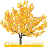 Vector illustration of cherry tree in autumn Stock Image