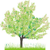 Vector illustration of cherry tree in spring. Cherry tree in spring, this image is a vector illustration, file available, and can be scaled to any size Stock Photography