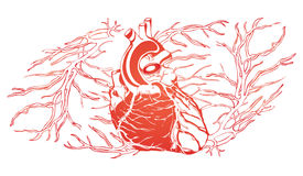 Circulatory system, heart and vessels illustration Stock Photography