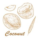 Vector illustration of a coconut.Coconut isolated on white background. Sketch vector tropical food illustration. Vector illustration of a coconut.Coconut Royalty Free Stock Images