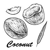 Vector illustration of a coconut.Coconut isolated on white background. Sketch vector tropical food illustration. Vector illustration of a coconut.Coconut Stock Image