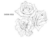 Vector illustration collection set of multicolored roses. Royalty Free Stock Images