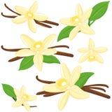 Vanilla flowers and sticks. Vector illustration collection of vanilla flowers Stock Photography