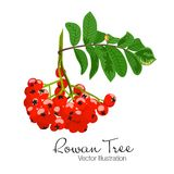 Vector illustration of colorful beautiful rowan tree branch. Red berries and green leaves on white background. Hand drawn Stock Photos