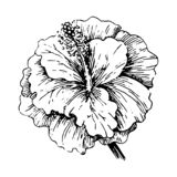 Vector illustration concept of Tropical hibiscus flower. Black on white background royalty free illustration