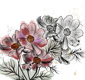 Vector illustration with cosmos flowers in engraved style Stock Photography