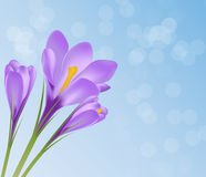 Vector illustration crocus flower background Stock Photos