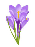Vector illustration of crocus flower Stock Photo
