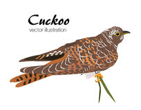 Vector illustration of Cuckoo bird on white background. Stock Images