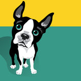 Vector illustration of a cute Boston Terrier Dog Royalty Free Stock Photography