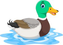 Cute cartoon duck swimming isolated on white background Stock Image