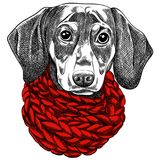 Vector illustration of a Dachshund dog for a Christmas card. Dachshund with a red knitted warm scarf. royalty free illustration