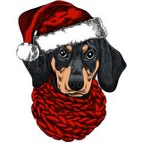 Vector illustration of a Dachshund dog for a Christmas card. Dachshund with a red knitted warm scarf and a santa hat vector illustration