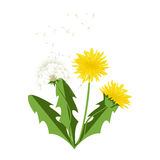 Vector illustration dandelions with leaves. Royalty Free Stock Photos