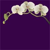 Vector Illustration einer Niederlassung mit drei Blumen von Orchideen Lizenzfreies Stockbild