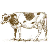 Vector illustration of engraving cow Stock Photography