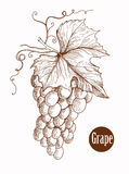 Vector illustration of engraving grapes on the branch handmade Royalty Free Stock Image