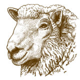 Vector illustration of engraving head of sheep Stock Photos