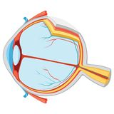 Vector Illustration Of Eye Anatomy. Eps 10 stock illustration