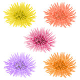 Vector chrysanthemum flower. Vector illustration with five colored chrysanthemum flowers Royalty Free Stock Photography