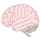 Coloured cerebrum of human brain anatomy side view flat. Vector Illustration ,Flat coloured Cerebrum of Human brain anatomy side view on white background stock illustration