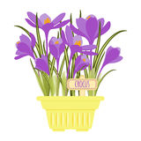 Vector illustration with flower pot. In flat style. Vector crocus isolated on white background Stock Photography