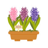 Vector illustration with flower pot. In flat style. Vector hyacinth isolated on white background Royalty Free Stock Image