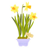 Vector illustration with flower pot. In flat style. Vector narcissus isolated on white background Stock Image