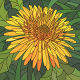 Vector illustration of flowers orange dandelion. Royalty Free Stock Images